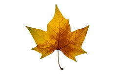 Autumn leaf on white background. Brown yellow autumn leaf on white background Stock Image