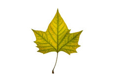 Autumn leaf on white background. Green and yellow autumn leaf on white background Stock Photos