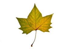 Autumn leaf on white background. Green and yellow autumn leaf on white background Royalty Free Stock Photography