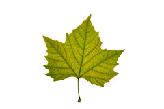 Autumn leaf on white background. Green and yellow autumn leaf on white background Royalty Free Stock Images
