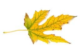 Autumn leaf on white background Royalty Free Stock Image