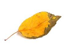 Autumn leaf on white background Royalty Free Stock Images