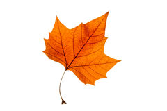 Autumn leaf on white background Stock Image