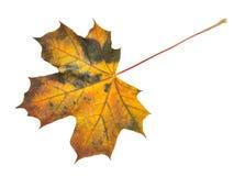 Autumn leaf on white stock images