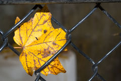 Autumn Leaf In Wire Fence. Single autumn leaf caught in black wire fence close-up Royalty Free Stock Photography