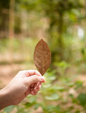 Autumn leaf. Women hand hold autumn leaf stock images
