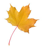 Autumn leaf. Royalty Free Stock Photos