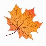 Autumn leaf. Yellow orange maple . Hand-drawing, vector illustration Royalty Free Stock Photo