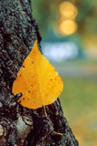 An autumn leaf. An autumn yellow leaf stuck in the bark of a tree - tender colors. Location Lietzensee, Berlin, Germany Stock Photos