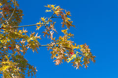 Autumn leafage Royalty Free Stock Photography