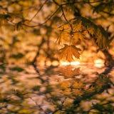 Autumn Leafe låter vara det svarta bruna färgbegreppet för bakgrund få green lönnsäsong till Vara kan bruk för bakgrund Royaltyfria Bilder