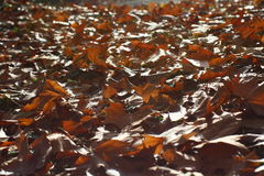 Autumn leafes. Image of red autumn leafes Stock Photo