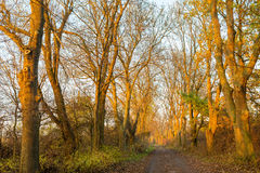 Autumn leafless oak alley in the golden hour. Autumnal leafless oak alley in the golden hour stock photo