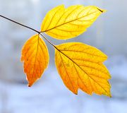 Autumn leaflet Royalty Free Stock Image