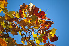 Autumn leafs. On blue sky Stock Photography