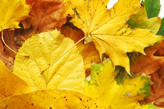 Autumn Leafs Royalty Free Stock Images