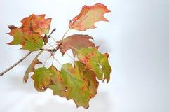 Autumn leafs. Isolated on white beckground Stock Photos