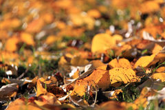 Free Autumn Leafs Royalty Free Stock Photography - 13333957