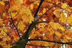 Autumn leafs. Autumn oak leafs on the tree Royalty Free Stock Photos
