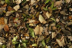 Autumn leafs. Colorful autumn leafs on the forest floor background Stock Image