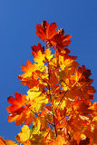 Autumn leafs. Close-up against blue sky stock photography