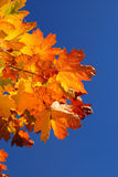 Autumn leafs. Close-up against blue sky royalty free stock photo