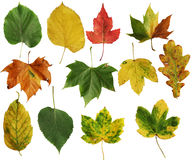 Autumn leafs. Various types of autumn leafs isolated on white stock images