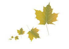 Autumn leafs. On white - illustration Royalty Free Stock Image