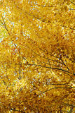 Autumn leafs. Leafs of a beech tree colored by autumn Stock Photography