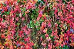 Autumn leafs. Colorful autumn leafs in different colors Royalty Free Stock Photos