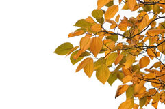 Autumn leafs. On white background Royalty Free Stock Image