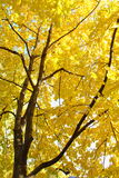 Autumn leafs. Image of some trees with yellow leafs in autumn stock photo