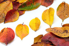 Autumn leafs. Royalty Free Stock Photo