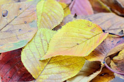 Autumn leafs. Stock Photography