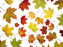 Autumn Leafs. Large group of Autumn leafs isolated on white background Stock Images