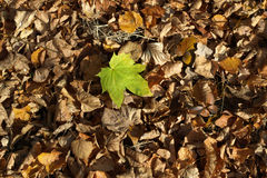 Autumn leafs. Fallen maple leafs in a forest Stock Photos