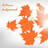 Autumn leafs. Background. Vector fall design Royalty Free Stock Images