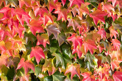 Autumn leafs. Colorful autumn leaves on a house wall Stock Images