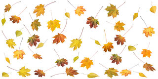 Free Autumn Leafs Royalty Free Stock Photography - 3729857