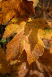 Autumn Leafs. Golden Autumn Leafs Royalty Free Stock Photography