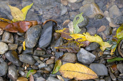 Autumn leafs. Leafs in a tropical creek in late summer royalty free stock photos