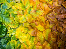 Autumn leafs. Leafs changing colour in autumn Royalty Free Stock Photo