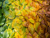 Autumn leafs. Leafs changing colour in autumn Royalty Free Stock Images