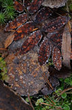 Autumn leafs close up. Royalty Free Stock Image