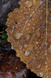 Autumn leafs close up. Royalty Free Stock Photos
