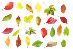 Autumn leafs. Collage of autumn leafs on white background royalty free stock photography