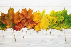 Autumn leafs colorful gradient composition on white wood royalty free stock photo