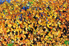 Autumn leafs colors Royalty Free Stock Image