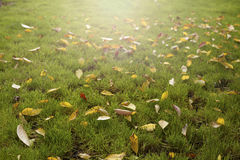 Autumn leafs. Fallen on green grass Royalty Free Stock Image