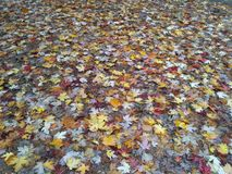 Autumn leafs Royalty Free Stock Photos